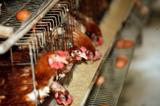 Egg Track report: EU countries meeting 2025 cage-free goals