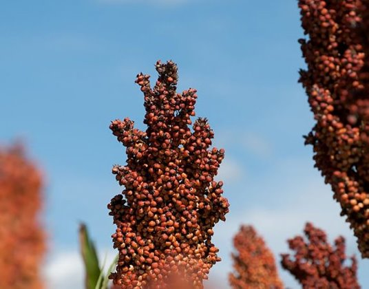 Tannin-free sorghum: normal for EU countries