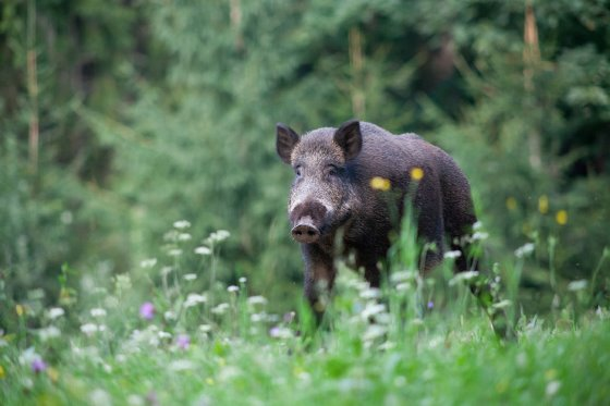 Wild boar can be immunized for ASF using a vaccine
